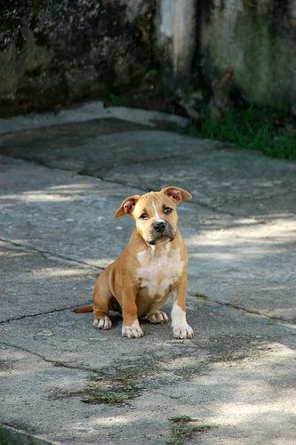 puhpeeeeeeee!: Photos, Pup Pup, Puppies Dogs, Petey Boys, Pitbull, P P P Puppies, Puppies Power, Precious Pup, Dashboards