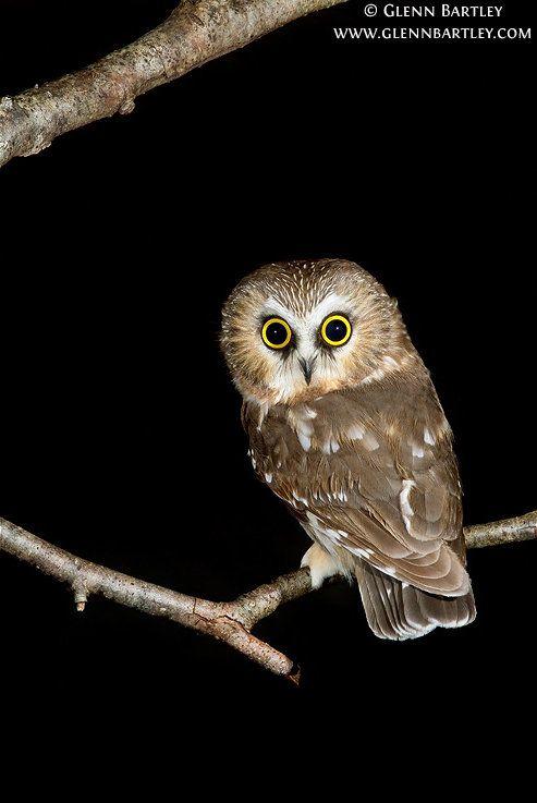Northern Saw-whet Owl (Aegolius acadicus) by Glenn Bartley