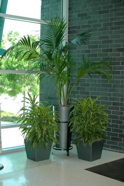 Two #planters with Lemon Lime Warnekii enhance a large Kentia #Palm in its matching tall planter and stand. #corporate