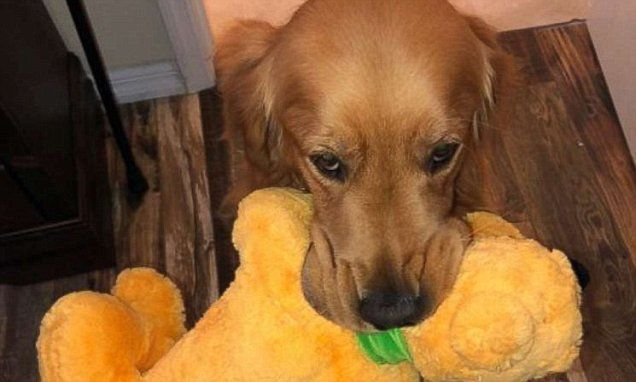 Service dog meets the 'real' version of his favorite stuffed toy