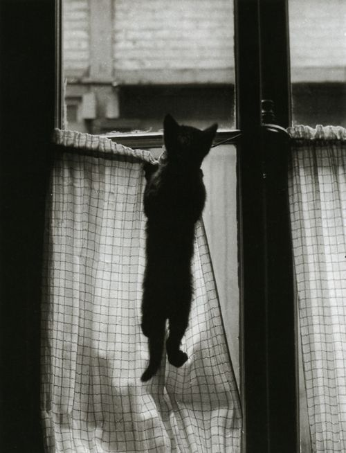"""La Fenêtre""  Paris, 1954  From ""Les chats de Willy Ronis"": Cats Photography, La Fenêtr, Willis Ronis, Black Kitty, Black And White, Black Cats, Cutest Kittens, Silly Kitty, Peek A Boo"