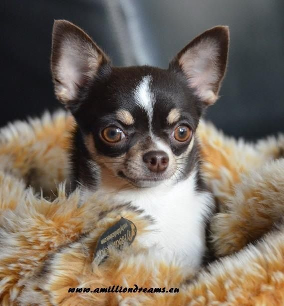 Chihuahuas bark is bigger than his bite. I would take one anytime!!