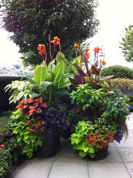 Coleus in a tropical container garden with cannas, sweet potato vine and more