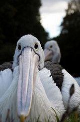 white bird animal wasser pelican gandalf fisher weiss fischer tier vogel schnabel pelecanus wasservogel weis pelecanidae pélican pelikane ccbysa marfis75 pelekys πελεκυσ
