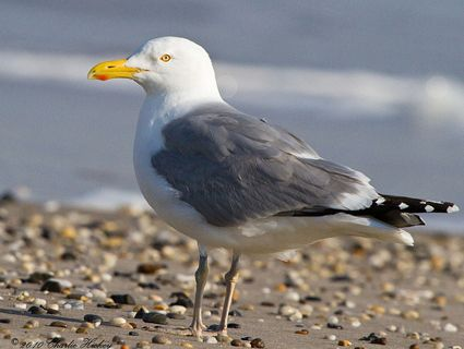 Herring Gull: Breeding adult. Large, slender gull with long bill Pale gray back, bright white underparts Stout yellow bill with red spot near tip of lower half Pink legs