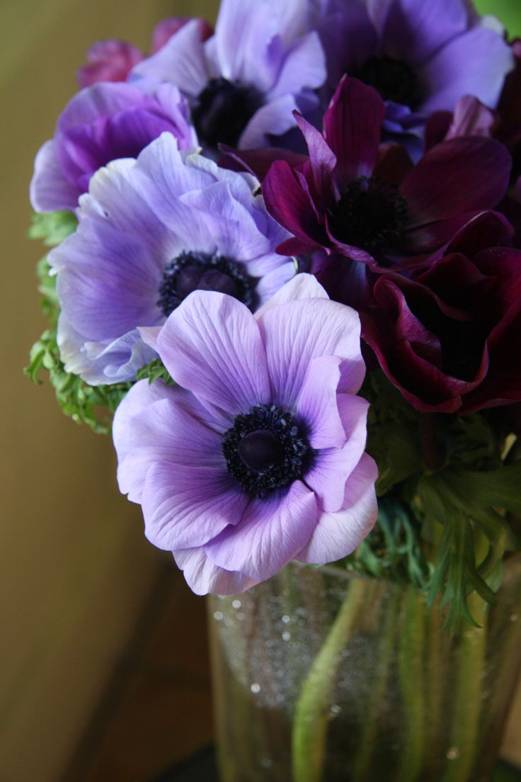 Anemone - Mona Lisa. Also called, Windflower. Love these shades! Good for cut flowers and even for cooler, coastal climates.