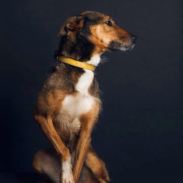 #berger #sheepdog #dogue #dogs #dogfolio #dogportrait #petshelter #dogofinstagram #hasselblad #profoto #dog #dogs #dogmilk #dogfolio #dogstyle #dogsofinstagram #dogstagram #dogoftheday #fourandsons #dogofinstagram #hound #houndfan #houndworthy #delphinecrepin #houndsbazaar #dogmuse #dogsandculturecollide #sheepdog #doglife #petshelteradoption #spa #sppa #amiens #dogportrait