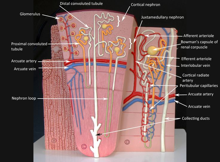 16 best Anatomy and Physiology Models images on Pinterest | Anatomy ...