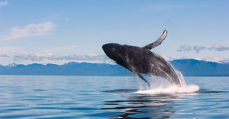 télécharger canto da baleia jubarte