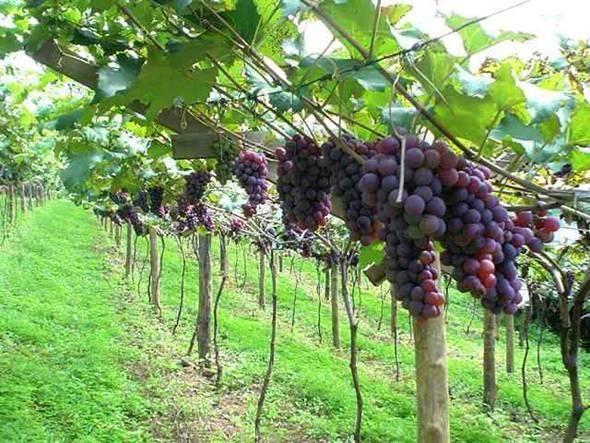 Como cuidar de videiras. Cultivar uvas não é um hábito restrito à confecção de vinhos, você pode ter uma videira em casa e aproveitar seus frutos para comer, para fazer vinhos ou para decoração ornamental. Além disso, a videi...