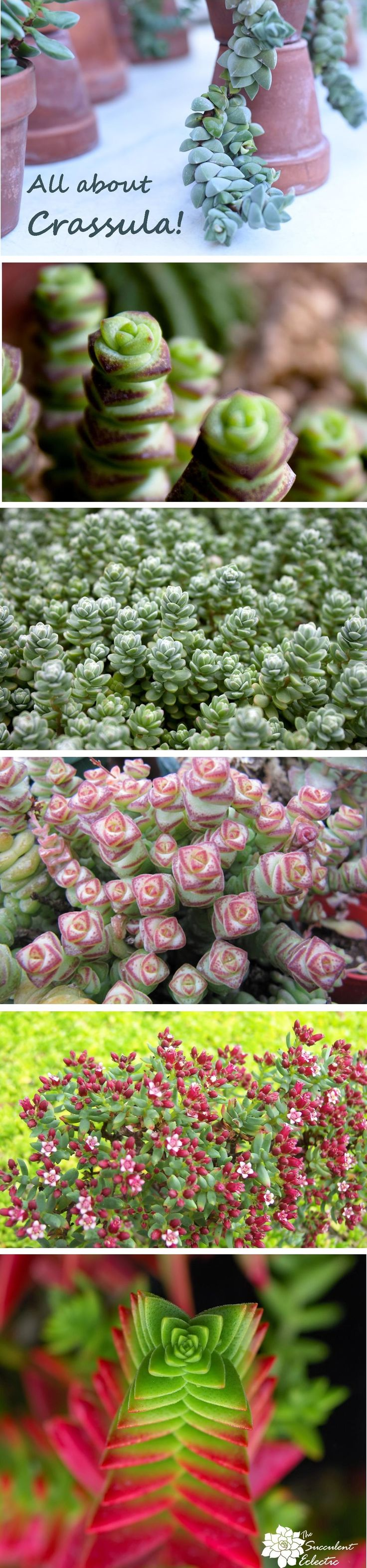 Crassula grown in many shapes, colors and sizes. Some are even terrific houseplants!