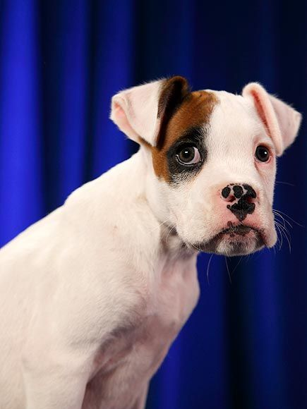 """Contestants of Puppy Bowl...  HUNTER  Watch out for this face – this 9-week-old boxer from GO Boxer Rescue """"plans to go into politics.""""   Status: Adopted!"""