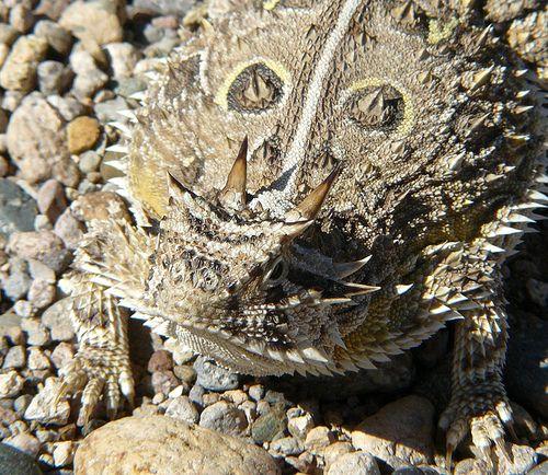 Texas Horned Lizard, New Mexico   Flickr