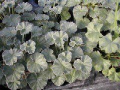 "SCENTED LEAF GERANIUMS - SIDOIDES 2 1/2 inch pot ""Pelargonium sidoides (Umckaloabo, South African Geranium) is a medicinal plant native to South Africa. Derivative inexpensive cold and flu medicines of various brands are widely available under the Umcka"""