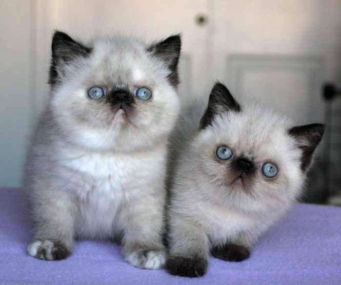 short hair exotic cat, i need this cat!!!!:)