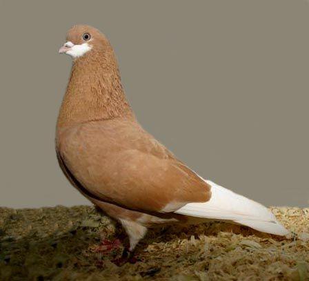 Amsterdam Tumbler Pigeon