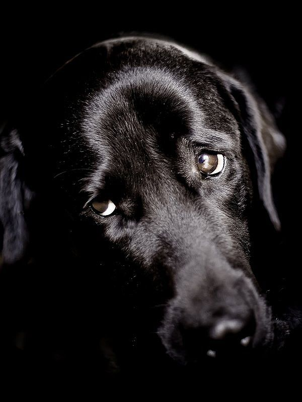 Stunning black labrador looking sad