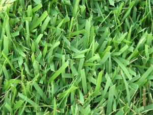 10 Best Images About Zoysia Grass On Pinterest Other