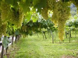 il mondo della fata dell'uva