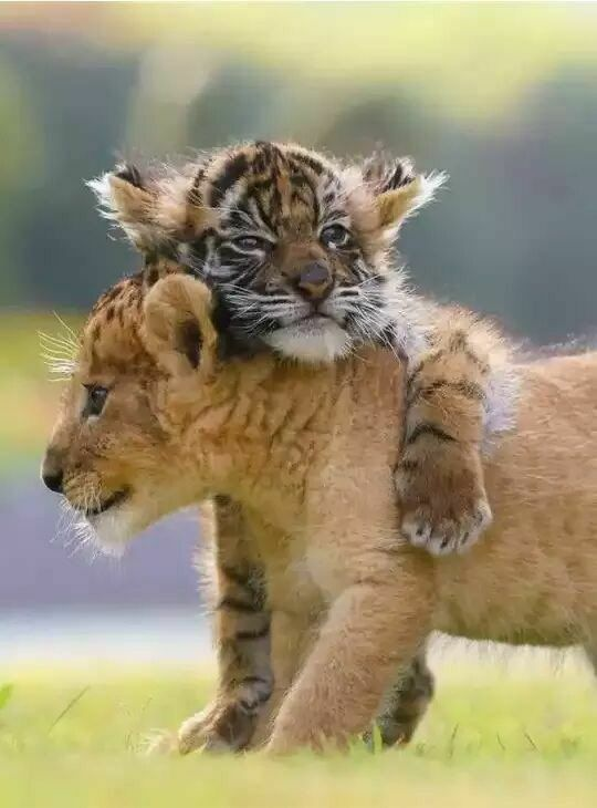 Cute duo - lion and tiger cub