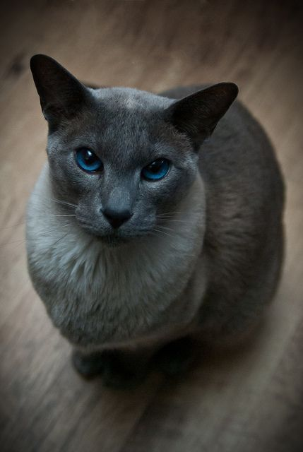 Blue Point Siamese Cat- our Monty looked like this. 1970-1987 We miss you.