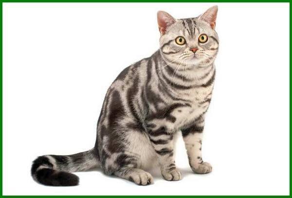20 Daftar Jenis Kucing Paling Mahal Di Dunia Ada Em Eman Daftarhewan Com Di 2020 Kucing Tabby Anak Kucing Menggemaskan Kucing Betina