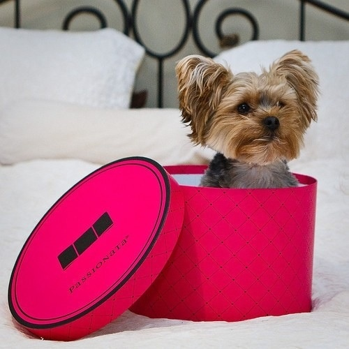 For cutting visual.Hats Boxes, Puppies, Dogs, Yorkie, Birthday Gift, Pets Stores, Yorkshire Terriers, Pets Photography, Animal