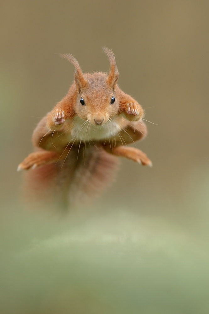Red Squirrel Flying!