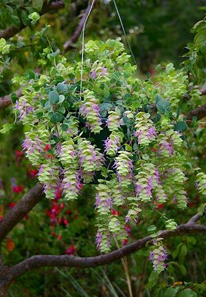 Origanum rotundifolium 'Barbara Tingey' great in a hanging basket.