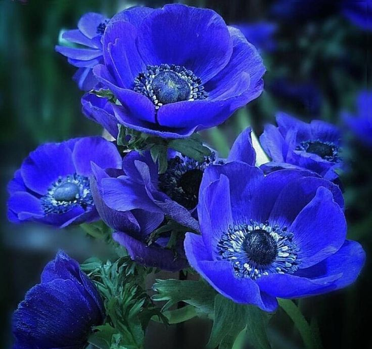 rock flower anemone care
