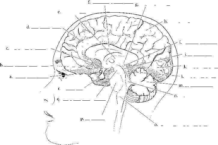 27 best images about nervous system on pinterest homeschool models and neuroscience. Black Bedroom Furniture Sets. Home Design Ideas