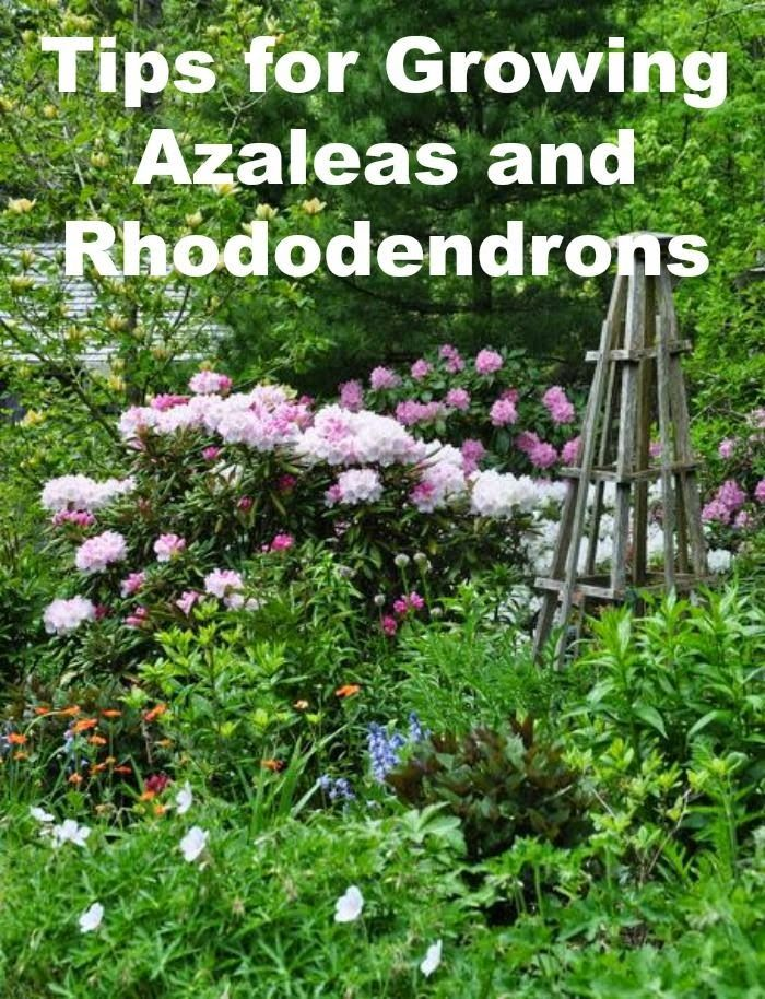 472 best images about garden flowers azaleas on for How to care for rhododendrons after blooming