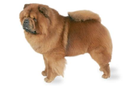 Chow Chow information including pictures, training, behavior, and care of Chow Chows and dog breed mixes.