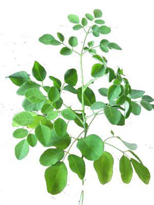 10 Avantages puissants en prenantdu Moringa chaque jour Moringa oleifera surpuissant Le Moringa commence à gagner en popularité comme nouveau « superaliments »par son profil très nutritif et anti-inflammatoire, antioxydant puissant, et despropriétés protectrices des tissus parmi beaucoup d'autres avantages pour la santé. Moringa oleifera , également connu sous l'arbre de raifort, arbre ben, ou …
