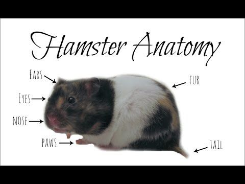 Anatomy of a hamster