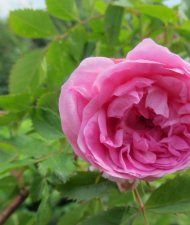 Rosa Rugosa-ryhmä 'Ilo' -puistoruusu 'Ilo'