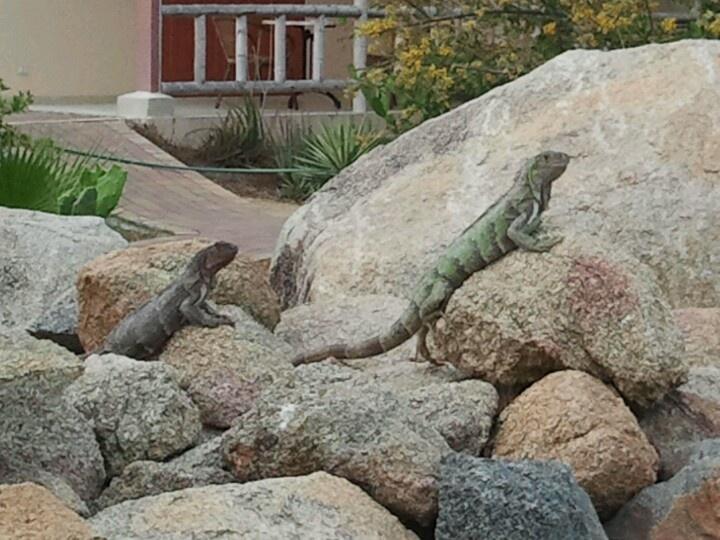 Leguanen op Aruba!! ©Nicole Kokken
