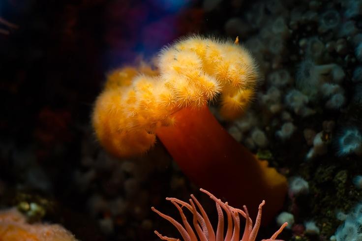 Актиния (морской анемон)