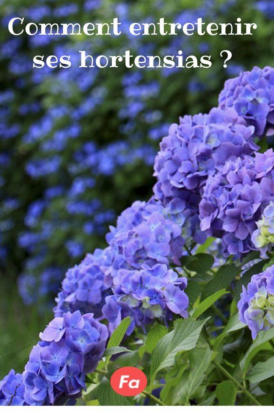 Comment entretenir les hortensias par Stéphane MARIE