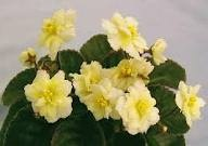yellow african violet.....never have seen one.  Awesome
