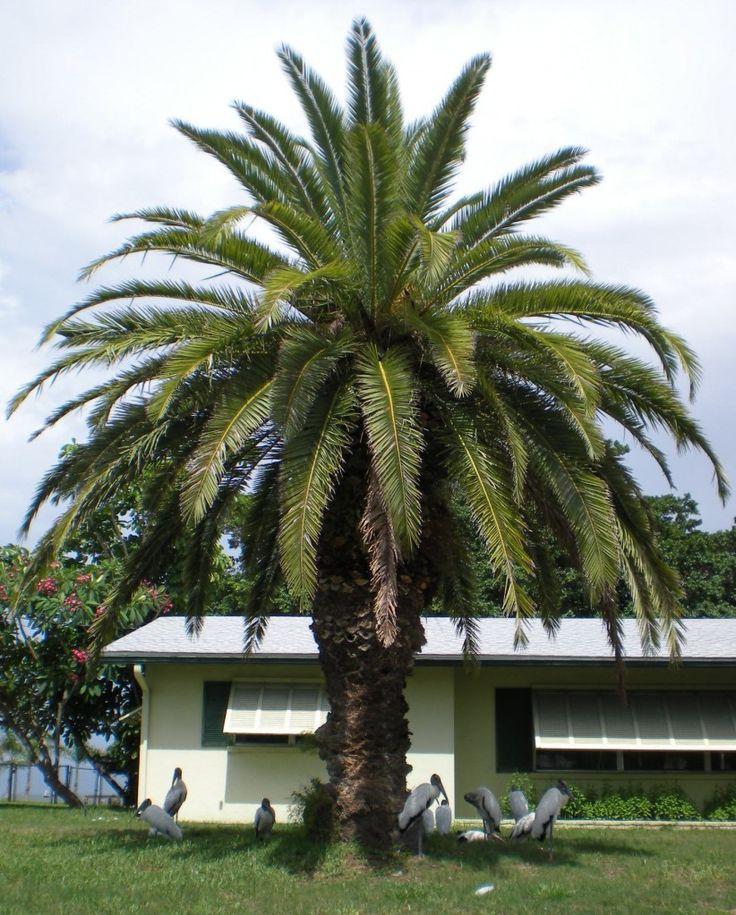 17 best images about palm trees on pinterest sago palm tree queen palm tree and sago palm. Black Bedroom Furniture Sets. Home Design Ideas