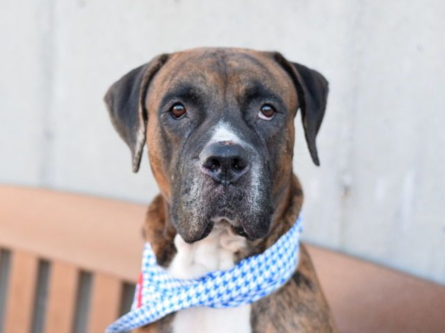 CONSTANTINE - A1095969 - - Brooklyn  Please Share:TO BE DESTROYED 11/18/16 A volunteer writes: Constantine is the kind of dog that can't make it far without getting stopped for compliments. But he is not just a stunning dog, he is a really wonderful dog, too! Despite his size, he has been perfect on leash whenever I've walked him (unless he sees something exciting, like another dog), seems housebroken, and is a superstar at basic commands (he already knows &#822