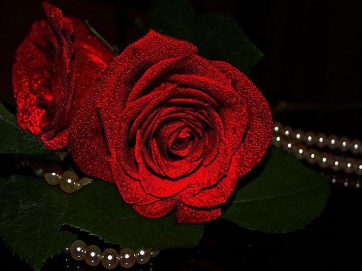 Hermosas rosas rojas. Wallpaper. | Todo rojo | Pinterest ...