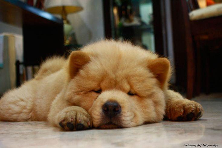 ¡Alucina! un perro chow chow fue habitual compañero en sesiones de psicoanálisis del mismísimo Sigmund Freud ¿quieres conocer más sobre esta raza? ¡entra ahora en nuestro blog! / Mediterranean Natural / Imagen: tokiwashojo.deviantart.com