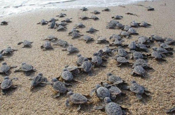 Little hatchlings heading out to the big blue in New Smyrna Beach.  Very precious!