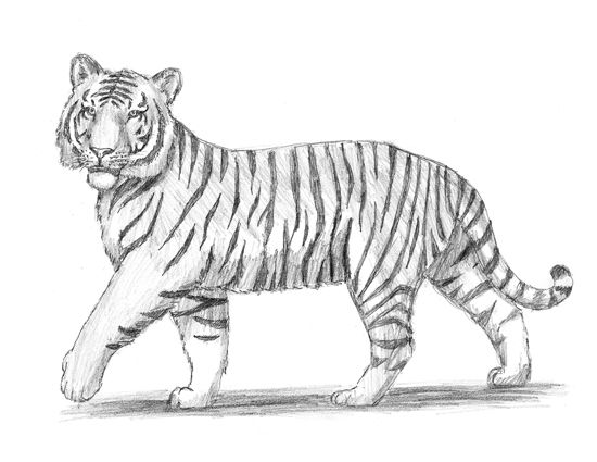 How to Draw a Tiger in 2019 | Realistic animal drawings ...