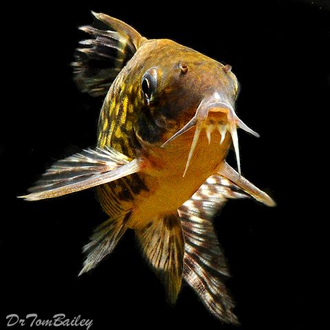 Corydoras - Aquarium Catfish - pictures, Care, Feeding, Food, Diet ...