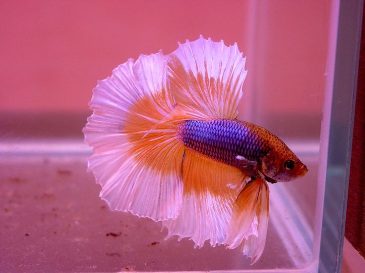 Baby betta fish what do baby betta fish look like for Beta fish for sale