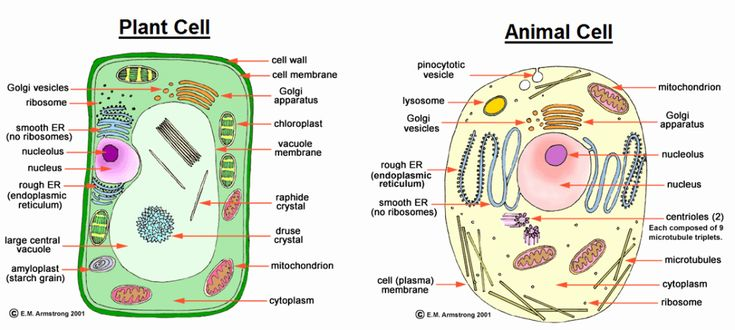 5th Grade Plant Cell Diagram Beautiful Difference Between ...