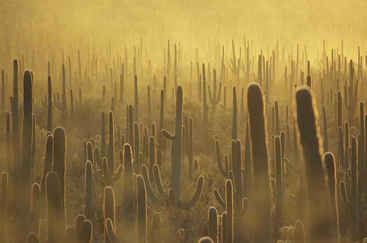 Saguaro Forest at Suns...